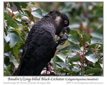 Long-billed Black Cockatoo (Calyptorhynchus baudinii) by Ian