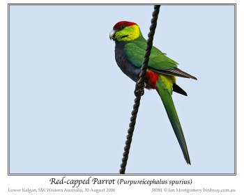 Red-capped Parrot (Purpureicephalus spurius) by Ian