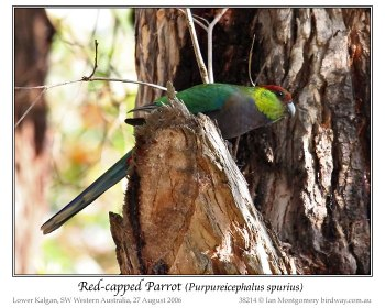 Red-capped Parrot (Purpureicephalus spurius) by Ian female