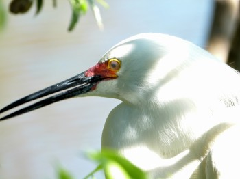 Snowy Egret - Noticd the Red when breeding by Lee