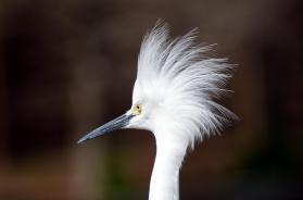 Snowy Egret in Breeding Plumage at Gatorland by Dan