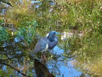 Tricolored Heron at Gatorland (5)