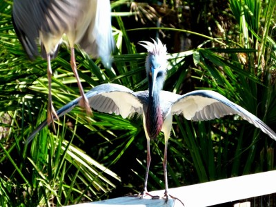 Tricolored Heron on Rail at Gatorland