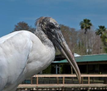 Wood Stork Close-up by Lee