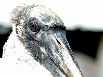 Wood Stork Face Close-up by Lee