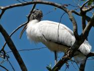 Wood Stork on Tree
