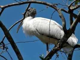 Wood Stork on Tree