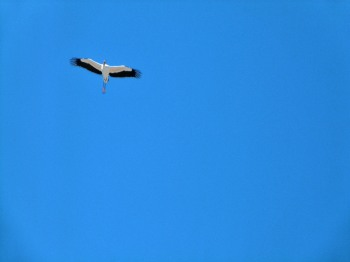 Wood Stork overhead at Gatorland