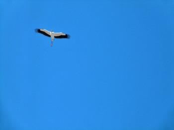 Wood Stork overhead at Gatorland