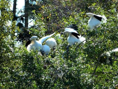 Wood Storks in the Rookery at Gatorland