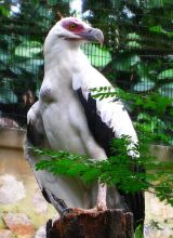 Palm-nut Vulture (Gypohierax angolensis) ©WikiC