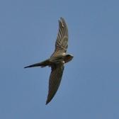 African Palm Swift (Cypsiurus parvus) ©WikiC