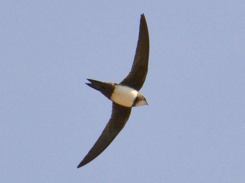 Alpine Swift (Tachymarptis melba) ©WikiC