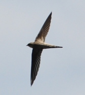 Asian Palm Swift (Cypsiurus balasiensis) ©WikiC