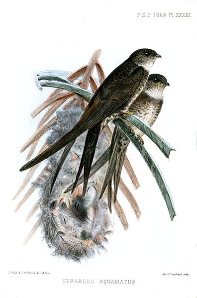 Neotropical Palm Swift (Tachornis squamata) ©Drawing WikiC