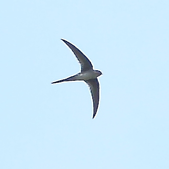 Neotropical Palm Swift (Tachornis squamata) ©WikiC