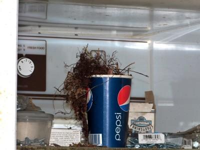 Wren nest in a Pepsi paper cup.