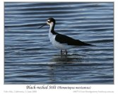 Black-necked Stilt (Himantopus mexicanus mexicanus) by Ian