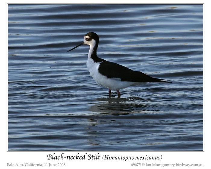 Black-necked Stilt (Himantopus mexicanus mexicanus) by Ian