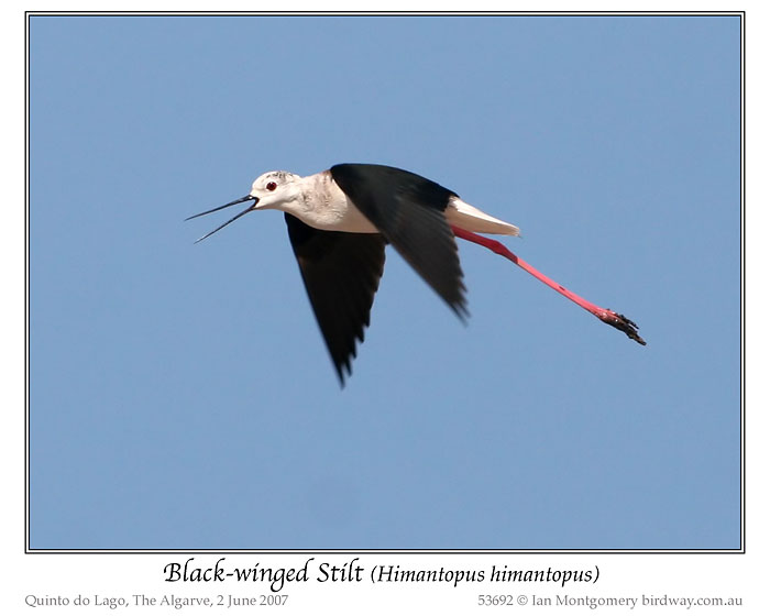 Black-winged Stilt (Himantopus himantopus) by Ian