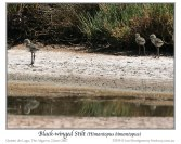 Black-winged Stilt (Himantopus himantopus) by Ian