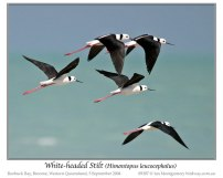 White-headed Stilt (Himantopus leucocephalus) by Ian