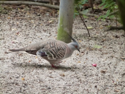 COL-Colu Crested Pigeon (Ocyphaps lophotes) at ZM by Lee