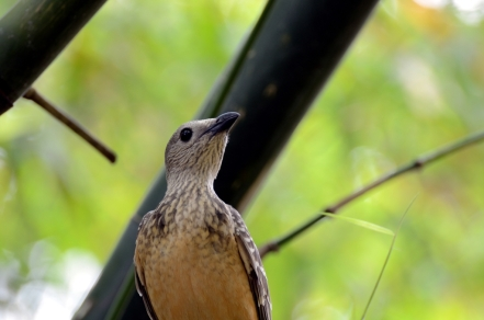 Fawn-breasted Bowerbird by Dan ZM