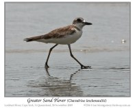 Greater Sand Plover (Charadrius leschenaultii) by Ian
