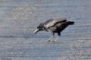 Cuban Palm Crow (Corvus minutus) ©Arthur Grosset