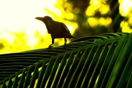 Cuban Palm Crow (Corvus minutus) ©Bing