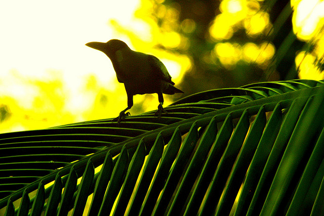 Cuban Palm Crow (Corvus minutus) ©Bing