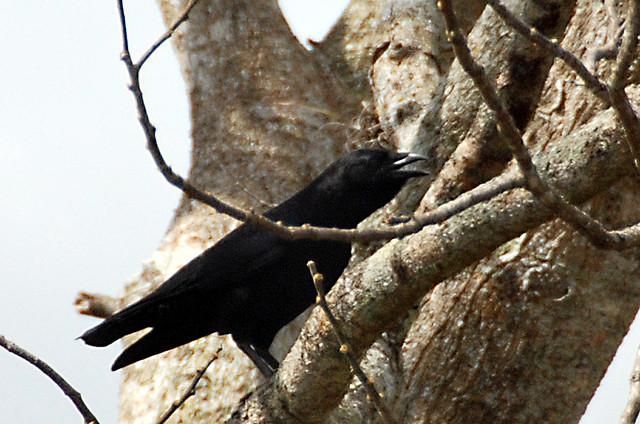 Hispaniolan Palm Crow (Corvus palmarum) ©Drawing WikiC