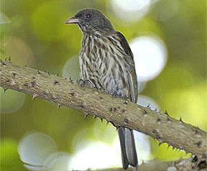 Palmchat (Dulus dominicus) ©Bing