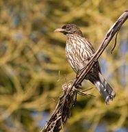 Palmchat (Dulus dominicus) ©WikiC