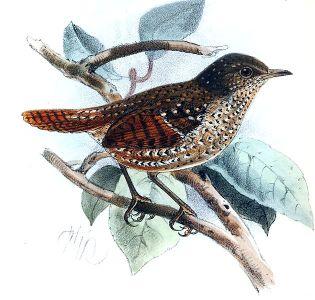 Spotted Elachura (Elachura formosa) ©Drawing WikiC