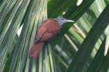 Point-tailed Palmcreeper (Berlepschia rikeri) ©Arthur Grosset