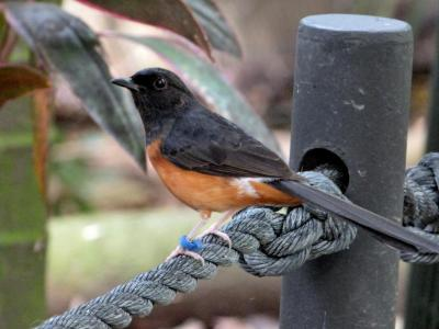 White-rumped Shama (Copsychus malabaricus)  at Zoo Miami - Lee