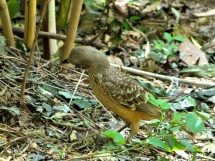 Fawn-breasted Bowerbird (Chlamydera cerviniventris) Zoo Miami by Lee