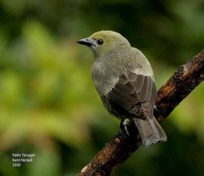 Palm Tanager (Thraupis palmarum) 2 by Kent Nickell
