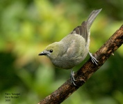Palm Tanager (Thraupis palmarum) by Kent Nickell