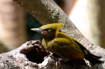 Greater Yellownape (Chrysophlegma flavinucha) female Zoo Miami by Dan