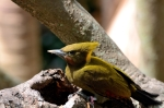 Greater Yellownape (Chrysophlegma flavinucha) female Zoo Miami by Dan