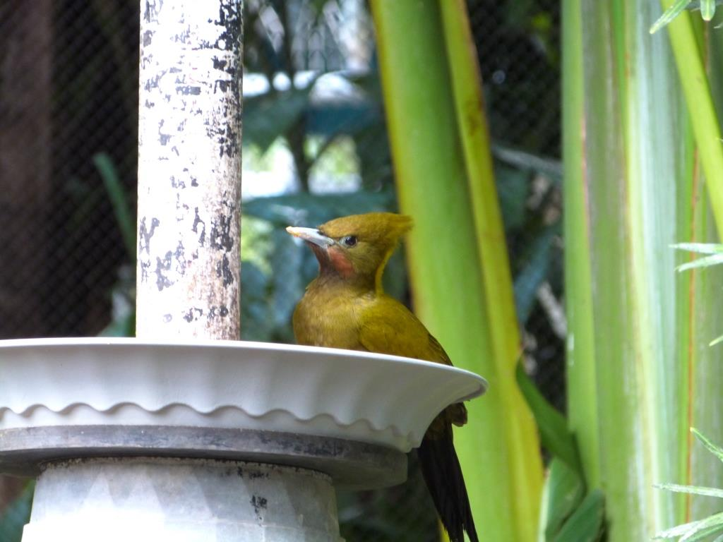 Greater Yellownape (Chrysophlegma flavinucha) female Zoo Miami by Lee