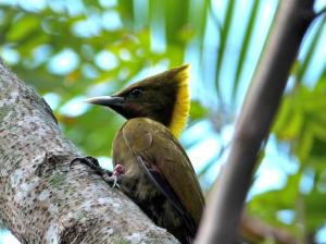 Greater Yellownape (Chrysophlegma flavinucha) female Zoo Miami by Lee