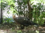 Bald Eagle (Haliaeetus leucocephalus) Jax Zoo by Lee