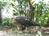 Bald Eagle (Haliaeetus leucocephalus) Jax Zoo by Lee
