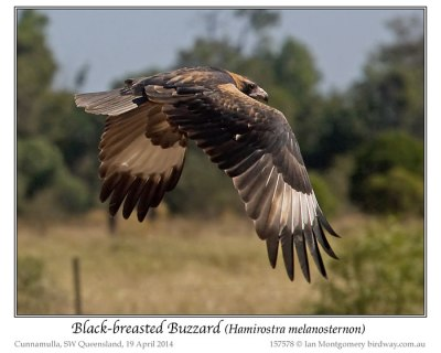 Black-breasted Buzzard (Hamirostra melanosternon) by Ian