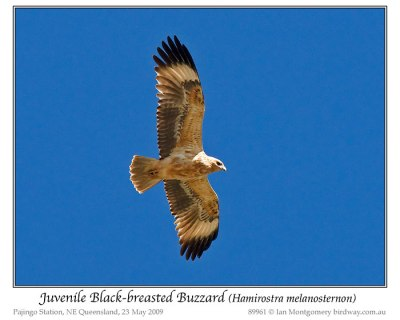 Black-breasted Buzzard (Hamirostra melanosternon) juvenile by Ian