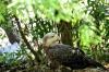 Bald Eagle maturing at Jax Zoo by Dan